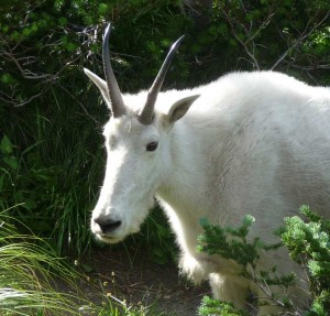 This friendly goat was spotted at Logan Pass last year.