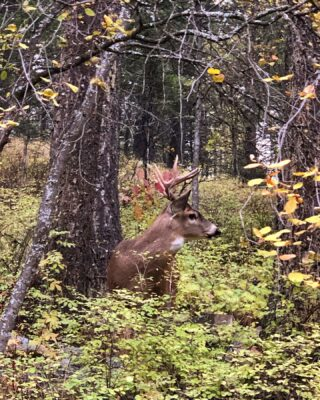 We got the wildlife #bigbuck #fall #lodge #lodging #inthewoods #mountainlife #mountainlove #wildlife #backyardmontana